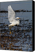 Snowy Egrets Canvas Prints - Snowy Egret . 7D11958 . Vertical Cut Canvas Print by Wingsdomain Art and Photography