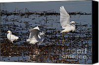 Snowy Egrets Canvas Prints - Snowy Egret . 7D11958 Canvas Print by Wingsdomain Art and Photography