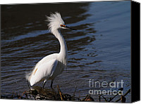 Snowy Egrets Canvas Prints - Snowy Egret . Bad Hair Day . 7D11892 Canvas Print by Wingsdomain Art and Photography