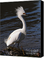 Snowy Egrets Canvas Prints - Snowy Egret . Bad Hair Day . Vertical Cut . 7D11892 Canvas Print by Wingsdomain Art and Photography