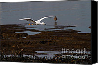 Snowy Egrets Canvas Prints - Snowy Egret . Incoming . 7D12038 Canvas Print by Wingsdomain Art and Photography