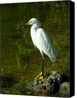 Great Egret Canvas Prints - Snowy Egret Canvas Print by Juergen Roth