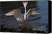 Snowy Egrets Canvas Prints - Snowy Egret . Maybe They Wont Notice My Bad Hair Day If I Show My Eagle Stance . 7D11890 Canvas Print by Wingsdomain Art and Photography