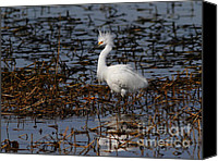 Snowy Egrets Canvas Prints - Snowy Egret . Solitude . 7D11963 Canvas Print by Wingsdomain Art and Photography