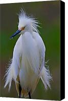Nature Photo Canvas Prints - Snowy Egret Struts Canvas Print by William Jobes