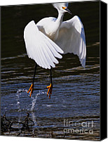 Snowy Egrets Canvas Prints - Snowy Egret . They Call Me Happy Feet . 7D11887 Canvas Print by Wingsdomain Art and Photography
