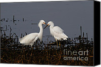 Snowy Egrets Canvas Prints - Snowy Egret . This Swan Heart Shape Thing Is Not As Easy As It Looks . 7D12062 Canvas Print by Wingsdomain Art and Photography