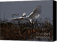 Snowy Egrets Canvas Prints - Snowy Egret . Wiiiiiiiiiiiiii . 7D12048 Canvas Print by Wingsdomain Art and Photography