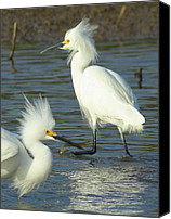 Snowy Egrets Canvas Prints - Snowy Egrets Canvas Print by Robert Frederick