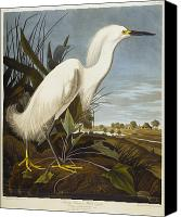 White Drawings Canvas Prints - Snowy Heron Canvas Print by John James Audubon