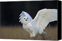 Color Stretching Canvas Prints - Snowy Owl Adult Circumpolar Species Canvas Print by Tim Fitzharris