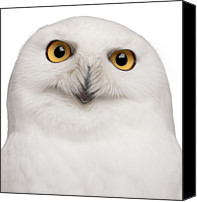 Brussels Canvas Prints - Snowy Owl -bubo Scandiacus Canvas Print by Life On White