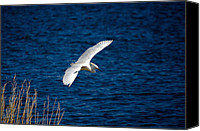 Digiart Canvas Prints - Soaring Snowy Egret  Canvas Print by DigiArt Diaries by Vicky Browning