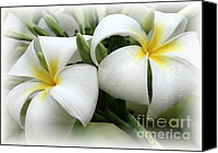 Raining Canvas Prints - Soft and Delicate Plumeria Canvas Print by Sabrina L Ryan