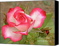 Rose Bud Canvas Prints - Soft as a Rose Canvas Print by Kaye Menner
