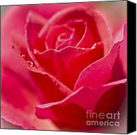 Drips Canvas Prints - Soft Pink Rose. Canvas Print by Clare Bambers