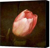 Textures Canvas Prints - Soft Pink Tulip Canvas Print by Cathie Tyler