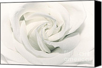White Rose Canvas Prints - Soft white Canvas Print by Kristin Kreet
