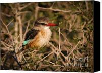 Kingfisher Canvas Prints - South African brown-hooded Kingfisher Canvas Print by Andy Smy