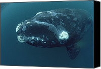 Valdes Canvas Prints - Southern Right Whale Under Boat Canvas Print by Flip Nicklin