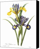1833 Canvas Prints - Spanish Iris Canvas Print by Granger