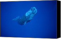 Whale Canvas Prints - Sperm Whale Juvenile Dominica Canvas Print by Flip Nicklin