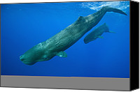 Whale Canvas Prints - Sperm Whale Mother And Calf Caribbean Canvas Print by Reinhard Dirscherl