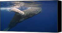 Whale Canvas Prints - Sperm Whale Mother And White Calf Canvas Print by Flip Nicklin