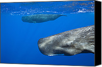 Whale Canvas Prints - Sperm Whale Pair Swimming Near Surface Canvas Print by Reinhard Dirscherl
