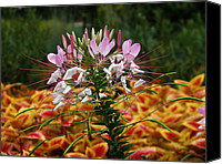 Flowers   Spider Canvas Prints - Spider Flower Canvas Print by Vijay Sharon Govender
