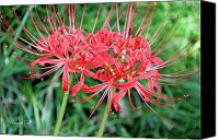 Spider Lily Canvas Prints - Spider Lilies Canvas Print by Suzanne Gaff