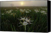 Spider Lily Canvas Prints - Spider Lilies Thriving On A Tallgrass Canvas Print by Raymond Gehman