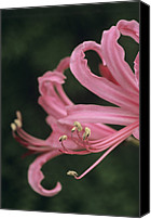 Spider Lily Canvas Prints - Spider Lily Flower Canvas Print by Archie Young