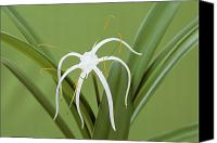 Spider Lily Canvas Prints - Spider Lily (hymenocallis Harrisiana) Canvas Print by Archie Young