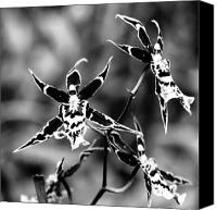 Flowers   Spider Canvas Prints - Spider Orchids Canvas Print by William Dey