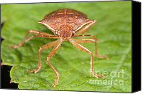 Animalia Canvas Prints - Spined Soldier Bug Canvas Print by Clarence Holmes