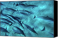 Dolphin Canvas Prints - Spinner Dolphins Canvas Print by Monica and Michael Sweet