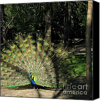 Parcs Canvas Prints - Splendid Peacock Canvas Print by Valia Bradshaw