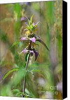 Horsemint Canvas Prints - Spotted Horsemint Canvas Print by Whispering Feather Gallery