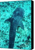 Whale Canvas Prints - Spotted whale shark swimming in Ari Atoll Canvas Print by Sami Sarkis