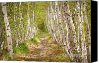May Canvas Prints - Spring Birch Canvas Print by Susan Cole Kelly