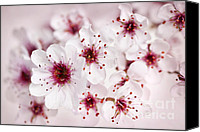 Blossoming Canvas Prints - Spring cherry blossom Canvas Print by Elena Elisseeva