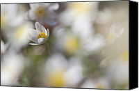 Thimbleweed Canvas Prints - Spring flowers in forest - wood anemone Canvas Print by Marek Mierzejewski