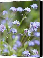 "\""forget Me Not Flowers\\\"" Canvas Prints - Spring Forget-Me-Not Flowers in the Meadow Canvas Print by Jennie Marie Schell"