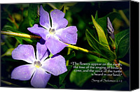 Vinca Flowers Canvas Prints - Spring Vinca Canvas Print by Cindy Wright