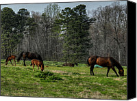 Filly Canvas Prints - Springs New Additions 002 Canvas Print by Lance Vaughn
