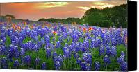 Award Winning Canvas Prints - Springtime Sunset in Texas - Texas Bluebonnet wildflowers landscape flowers paintbrush Canvas Print by Jon Holiday