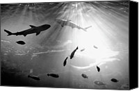 Underwater Canvas Prints - Squales Fish Canvas Print by Xamah Image