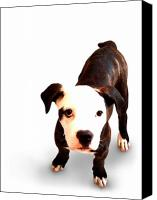 Terrier Canvas Prints - Staffordshire Bull Terrier Puppy Canvas Print by Michael Tompsett