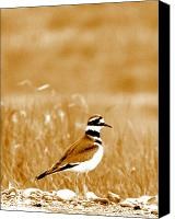 Killdeer Canvas Prints - Standing Proud Canvas Print by Emily Stauring